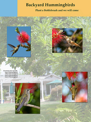 poster of Allen's and Anna's Backyard Hummingbirds
