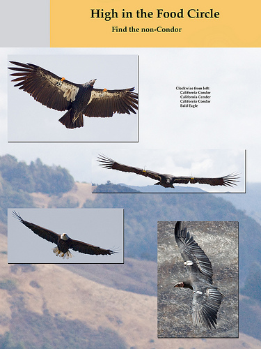 poster of Califronia Condors and a Bald Eagle
